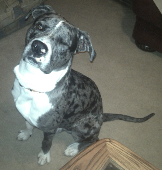 Great Danebull at 1 year old—he is a very loving family dog, great ...