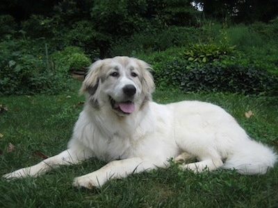A large white with tan Great Pyrenees is laying in grass. Its mouth is open and tongue is out