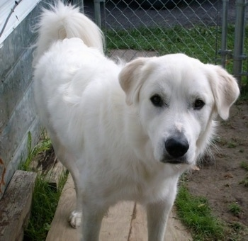 Sam the Great Pyrenees at about 17 months old with his owner