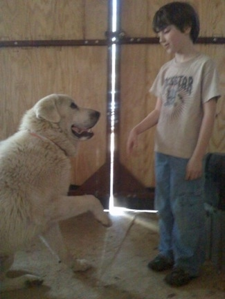 A Great Pyrenees is sitting in front of a large door in a barn with its paw up in the air looking at the  boy who is standing in front of him.