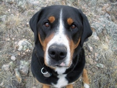 Close Up - A black, tan and white Greater Swiss Mountain dog is sitting on a large rock outside and looking up