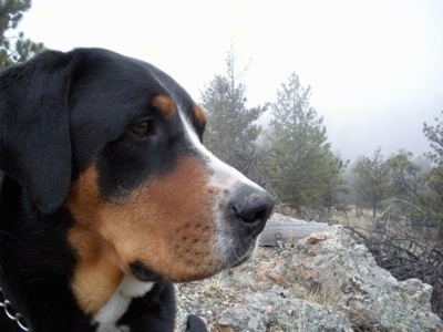 Close Up - A black, tan and white Greater Swiss Mountain dog is standing on a large rock outside with a feild of pine trees in the distance.