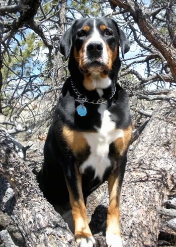 Stacey Mae, the Greater Swiss Mountain Dog at 3 years old.