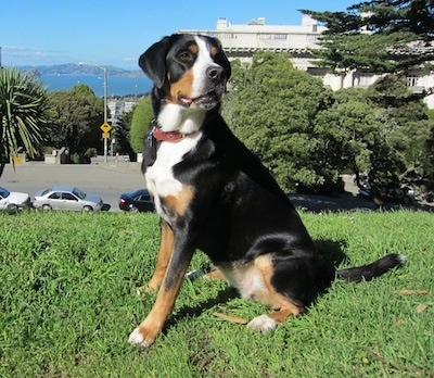 A tricolor black, tan and white Greater Swiss Mountain Dog is sitting in grass on a hill. There are cars, a street and a building and a nice view of a body of water with small mountains in the background.