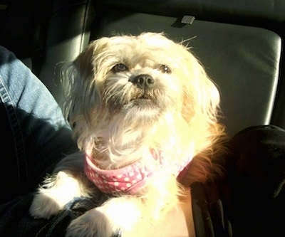 A tan longhaired Griffichon dog is wearing a pink polka dot bandana laying on a persons stomach on the back of a vehicle.