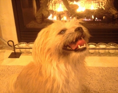 A tan longhaired Griffichon is sitting in front of a fireplace panting looking up.