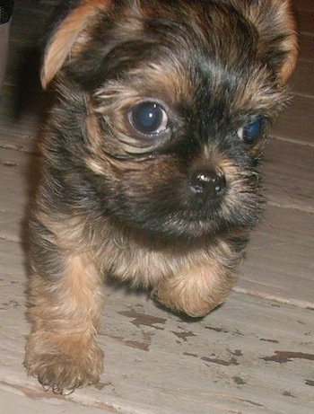 Gracie the Griffonshire puppy at 7 weeks old.