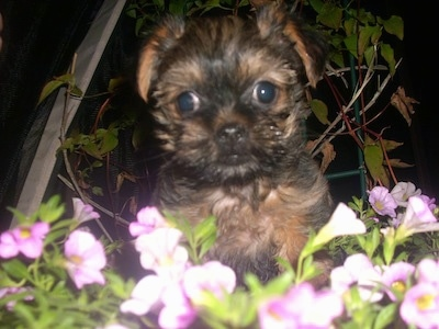 A black and brown Griffonshire puppy is sitting in the middle of purple flowers at night.