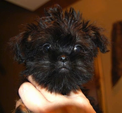 Close Up head shot - A black with brown Griffonshire puppy is being held in the air by a person's hands.