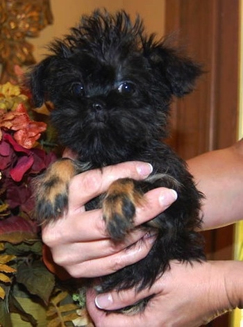 A black with brown Griffonshire puppy is being held by a person's hands next to a plant