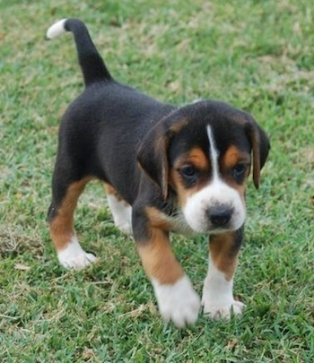 A small tricolor black, tan and white Hamilton Hound puppy is walking in grass