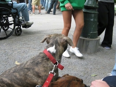 The back of a blue nose brindle Pit Bull Terrier that is standing in gravel and it is looking at a crowd of people