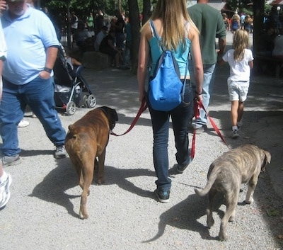 The back of a blue nose brindle Pit Bull Terrier and a brindle with white Boxer are being walked by a lady, towards a crowd of people