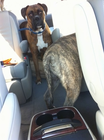 Bruno The Boxer and Spencer the Pitbull Terrier waiting in a car