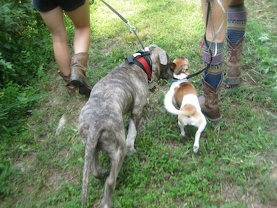 Spencer the Pit Bull Terrier and the other dog being walked together