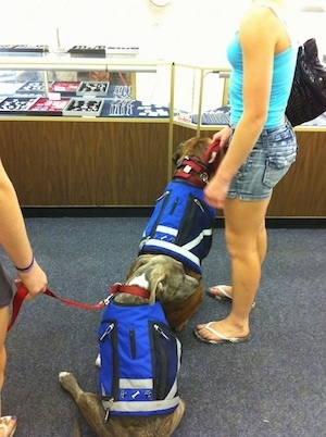 The back of a blue nose brindle Pit Bull Terrier and a brown brindle Boxer are wearing blue vests and sitting in a jewelry store