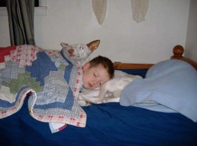 A boy is sleeping on a white Ibizan Hound on a bed. He is using the dog as a pillow