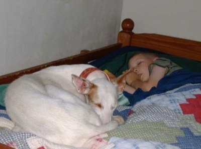A white Ibizan Hound is laying in a ball on a bed. There is a boy sleeping and sucking on its thumb next to the curled up dog.