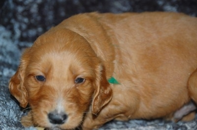 Irish Doodle puppy at 5 weeks old. Courtesy of Ayers Pampered Pets.