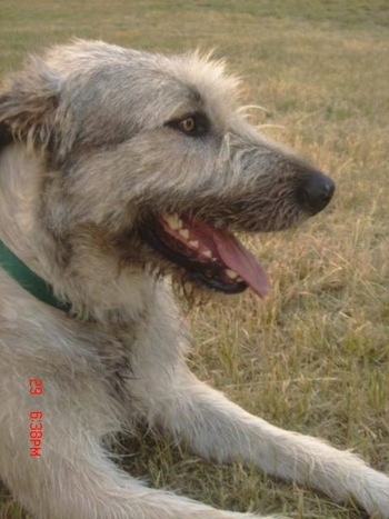 A tan with grey Irish Wolfhound is laying in grass with its mouth open and tongue out