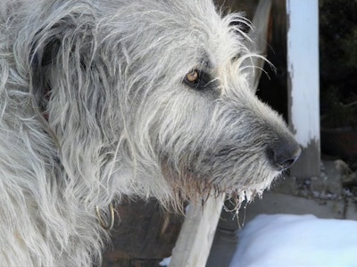 Close Up side view head shot - A tan with grey Irish Wolfhound is standing on a porch and in front of it is snow
