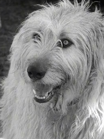 A black and white photo of an Irish Wolfhound with its mouth parted a little looking happy.