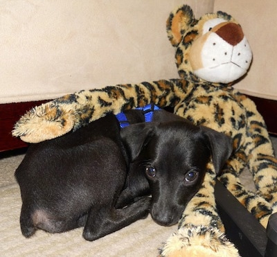 A black Italian Grey Min Pin dog is wearing a blue harness laying down next to a plush Cheetah toy that is larger than the dog.