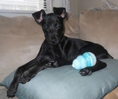 A black Italian Grey Min Pin is laying on top of a light blue pillow on a tan couch with a teal-blue and white kong toy next to it.