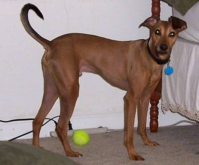 A red Italian Grey Min Pin is standing next to a human's bed. Under its body is a green tennis ball