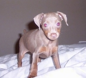 Close Up - A small grey Italian Grey Min Pin puppy is standing on a human's bed.