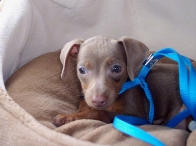 A small grey Italian Grey Min Pin puppy is laying on a dog bed wearing a blue harness with a blue leash attached.