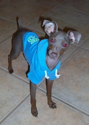 A grey Italian Grey Min Pin puppy is wearing a blue hoodie standing on a tan tiled floor