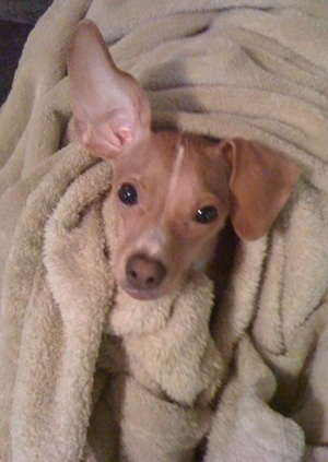 A red with white Italian Grey Min Pin is wrapped in a tan blanket with only its head poking out.