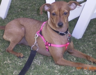 A red Italian Grey Min Pin is wearing a pink harness laying in grass next to a white table and chair