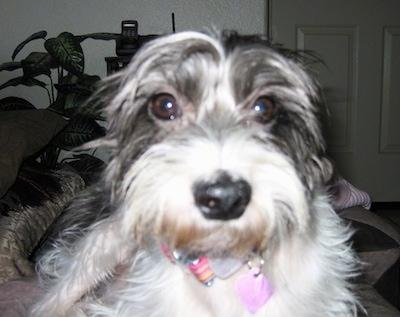 Italian Greyhound and Shih Tzu Dog Breed