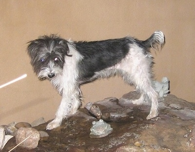 A grey with white Italian Tzu is standing on wet rocks