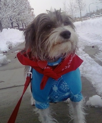 A grey with white Italian Tzu is standing on a shoveled sidewalk on a snowy day wearing a red banadana and a blue sweater.