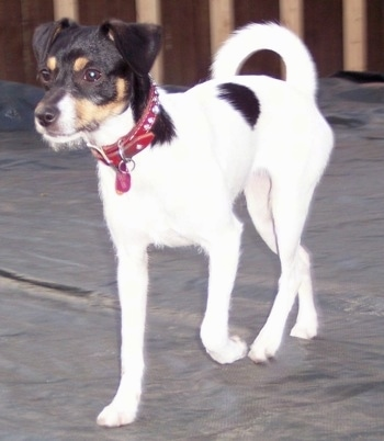 A white with black and tan Jack-Rat Terrier is wearing a red collar walking across a porch.