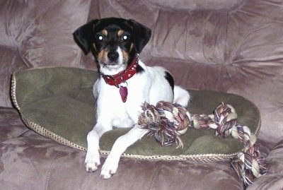 A white with black and tan Jack-Rat Terrier is laying next to a rope toy on a green pillow on top of a tan couch.