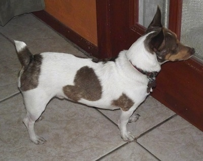 A white with brown Jack-Rat Terrier is standing on a white tiled floor in front of a door looking out of a door glass pane