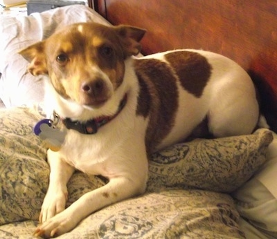 A white with brown Jack-Rat Terrier is laying on a humans bed on top of a pillow