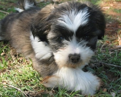 Max, the Jack Russell-Shih Tzu mix as a puppy at 10 weeks old.