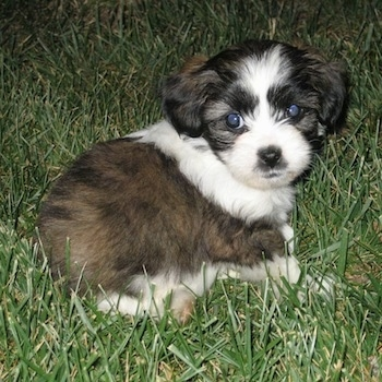 A small Jack Tzu puppy is laying in grass at night