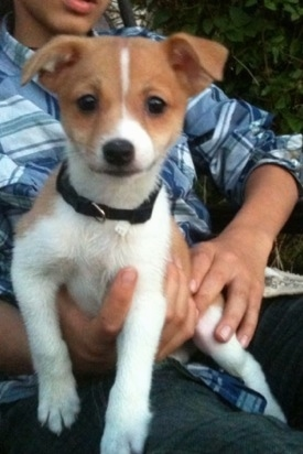 Jack+russell+mixed+with+pomeranian
