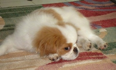 A white with tan Japanese Chin is laying down on a red, tan, white and green rug