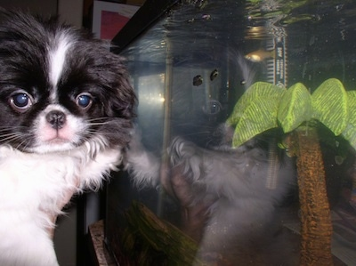 A white with black Japanese Chin puppy is being held up in front of a fish tank