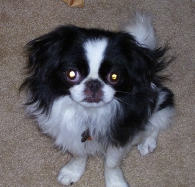 A black with white Japanese Chin puppy is sitting on a tan carpet and looking up. There is a bone behind it
