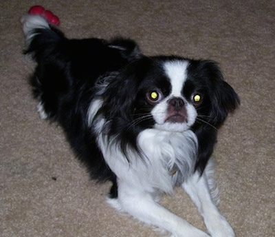 A black with white Japanese Chin puppy is laying on a tan carpet, there is a toy behind it