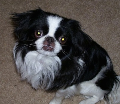 A black with white Japanese Chin puppy is laying on a tan carpet and it is looking up. The dog has an underbite and its bottom teeth are showing.
