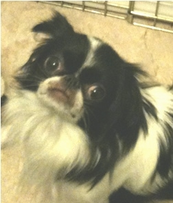 Close Up - A white and black Japanese Chin is sitting in front of a metal dog crate looking up